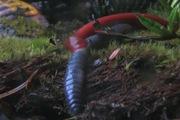 Kinh hoàng đỉa khổng lồ dài 30cm nuốt chửng giun đất gần 80cm