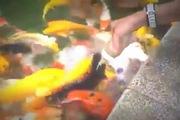 Đàn cá chép thông minh biết ăn bằng bình bú sữa trẻ em
