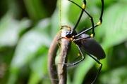 Ngược đời chuyện nhện ăn thịt rắn dài nửa mét