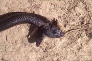 Đại gia đình động vật kỳ dị chào đón rắn đen hai đầu