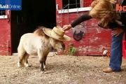 Chú ngựa tí hon mắc bệnh lùn nhưng vô cùng dễ thương