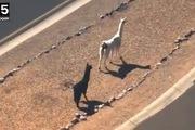 Hai con lạc đà nổi như cồn nhờ màn tẩu thoát lắt léo không ai bằng