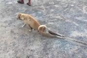 Chú chó tinh ranh giả vờ bị liệt chân để... xin ăn