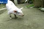 Chú lợn con dị tật chào đời chỉ có hai chân trước