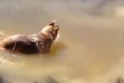 """Chú chó Béc-giê siêu """"cuồng"""" bơi lội"""
