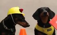 Khi cún đi làm công nhân