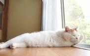 Mèo lười Shironeko và một ngày lười biếng thường lệ