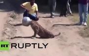 Con báo bị kẹt đầu trong nồi vì ăn vụng