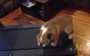 Cún Bulldog mập ú ụ quá rồi nên phải tập Gym này