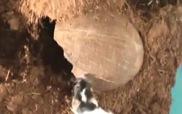 Xem nhện-ăn-chim Goliath săn chuột