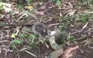 Đại chiến rắn hổ mang - cảnh tượng siêu hiếm ngoài tự nhiên
