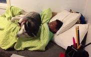 Cún Husky bảo vệ cậu chủ ngủ nướng, không cho mẹ gọi dậy