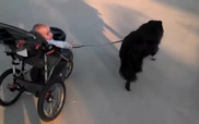 Bé yêu nằm nôi trổ tài dắt cún đi dạo