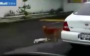 Xúc động cảnh chú chó kéo bạn bị xe đâm vào lề đường