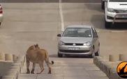 Sư tử cái phát điên vì cá sấu ăn thịt con