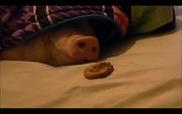 Chú lợn lười biếng nhất hành tinh