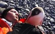 Chim cánh cụt con âu yếm dụi đầu vào du khách