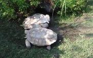 Con rùa tìm cách cứu bạn đang bị lật ngửa gây sốt trên Youtube