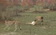 Chú nai láu cá đánh lừa cả linh cẩu lẫn báo đốm