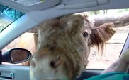 """Khi động vật trở thành... """"kỳ đà cản mũi"""" đúng nghĩa"""