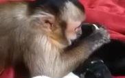 Khi khỉ vào vai bảo mẫu cho những chú cún con