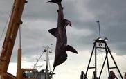 """""""Quái vật"""" cá mập dài tới 6,5 m được đưa lên đất liền"""