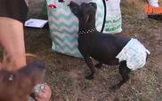 Xem cuộc thi những chú chó xấu xí nhất thế giới