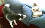 Chú mèo này quả là dữ dằn thật...