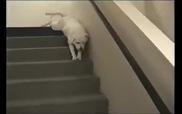 """Cún xuống cầu thang kiểu """"không đụng hàng"""""""