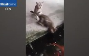 Thót tim trước giây phút cá nhảy lên lôi mèo xuống ao