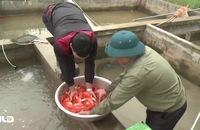 Phóng sự: Thăm làng cá chép Thủy Trầm nhân ngày ông Táo chầu trời