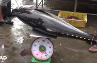 Trước Tết, ngư dân được mùa cá ngừ đại dương