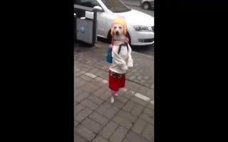"""Chó diện đồ nữ tính """"sang chảnh"""" bước đi trên đường phố"""