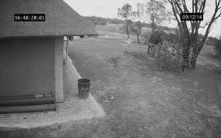 Cảnh voi nhặt rác được ghi lại qua camera