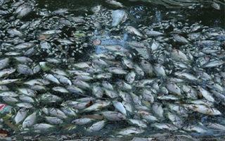 Hà Nội: Hồ Thiền Quang cá chết nổi trắng mặt nước, bốc mùi nồng nặc