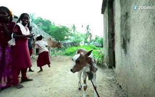 """Chú bê 3 mắt được tôn thờ như """"vị thánh"""" tại Ấn Độ"""