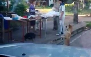 Chó biểu diễn đứng 2 chân xin ăn