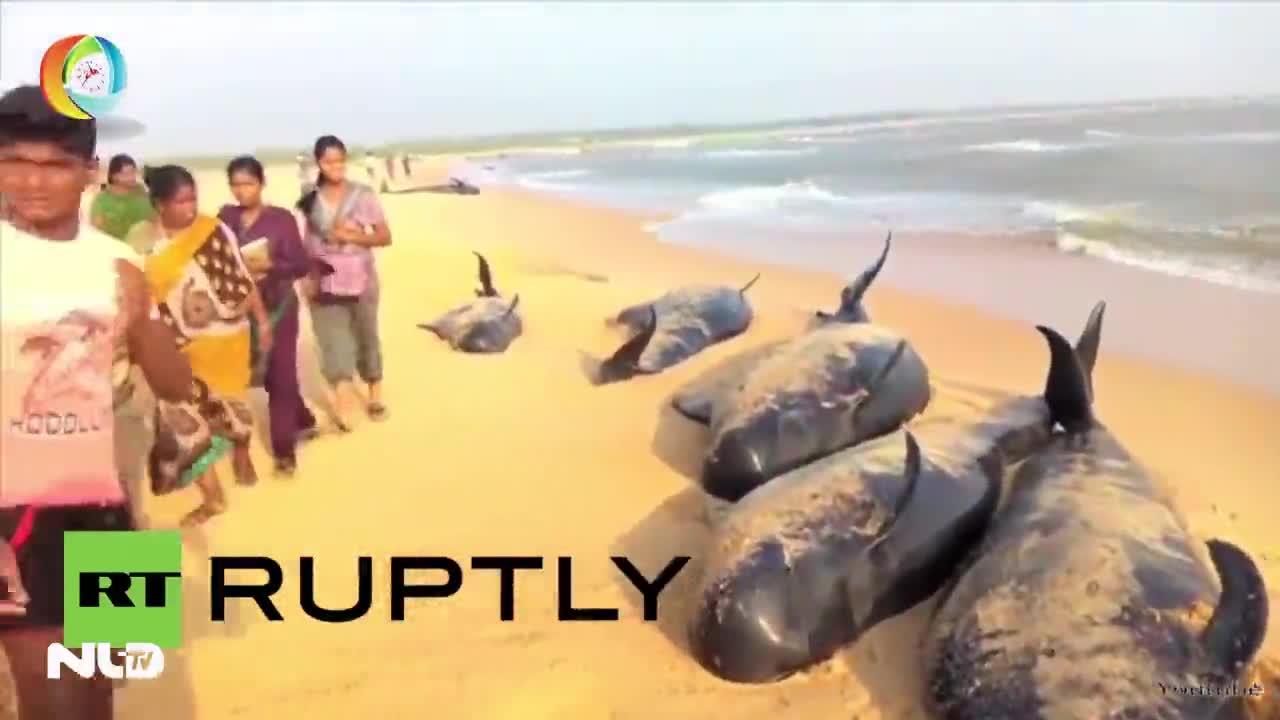 Kỳ lạ cá voi tự sát tập thể ở Ấn Độ