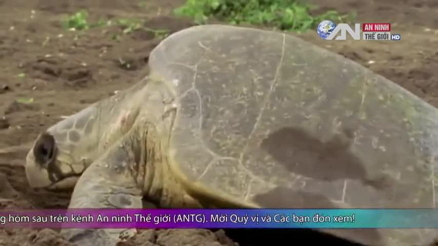 Bảo vệ rùa biển khỏi nguy cơ tuyệt chủng