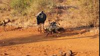 Khoảnh khắc linh dương đầu bò mẹ bảo vệ con trước chó rừng hung dữ