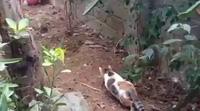 Chết cười với cảnh mèo đi săn chuột
