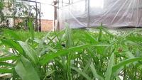 Mô hình canh tác thủy canh mở ra hướng đi mới cho người trồng rau sạch