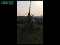 Cây dứa khủng ở Nghệ An ra hoa khiến người dân hoang mang.