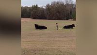 Cậu bé Asher rón rén đến gần rồi leo lên lưng bò tót vì màn cá cược với bố