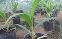 Sản xuất giống dừa sáp bằng phương pháp cấy phôi