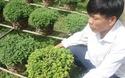 Hoa cúc bán Tết của bà con nông dân bị thiệt hại nặng nề