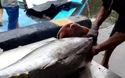 """Giá cá ngừ đại dương Trường Sa """"tăng vọt"""", ngư dân phấn khởi"""