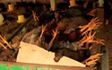 Bình Định: Trại gà chết nghi do dính thuốc chuột, chủ trại gà trắng tay