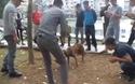 Bàng hoàng chứng kiến cảnh chọi chó đẫm máu tại Hà Nội