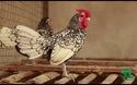 """Ngắm đàn gà """"độc lạ"""" tiền tỷ"""